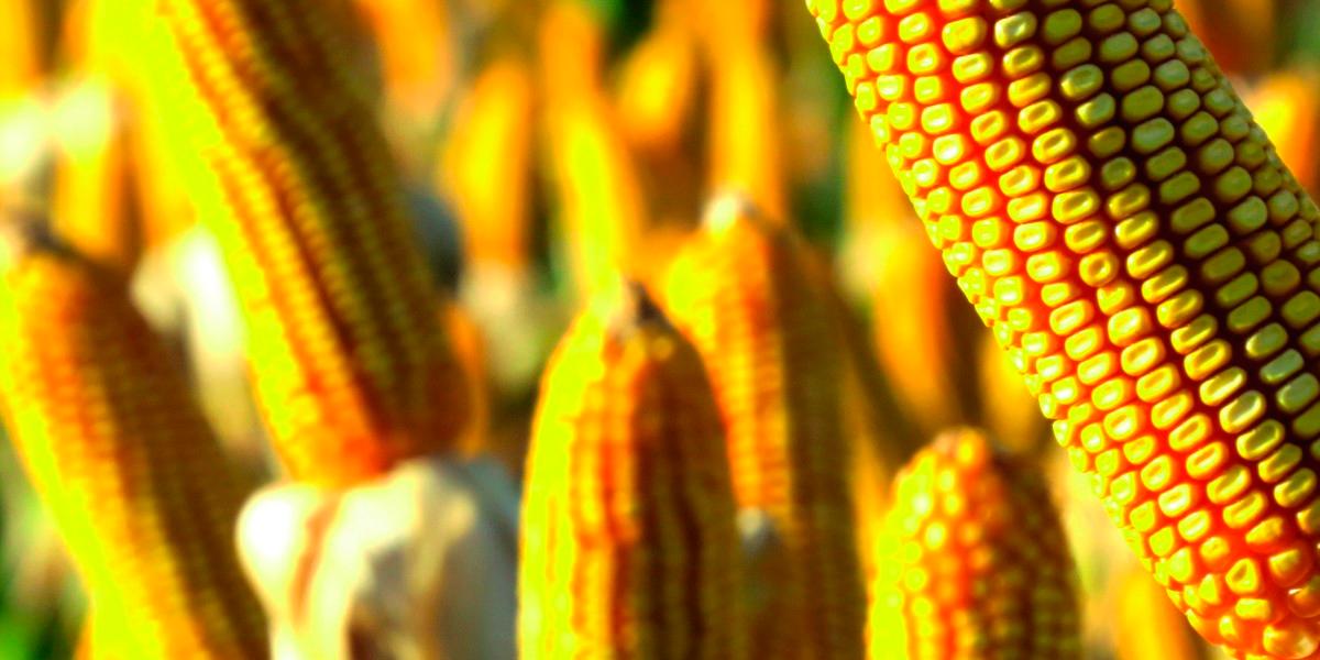 Mato Grosso tem aumento na exportação de milho. (Foto: Divulgação)